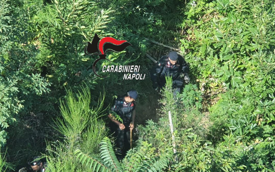 Napoli, nuovo sequestro di 500 piante di cannabis sui Monti Lattari
