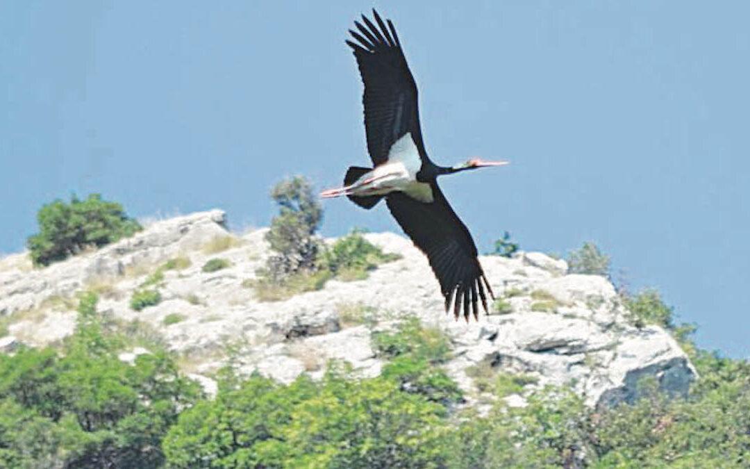 La cicogna nera in volo sul Pollino (Foto Paolo Franzese)