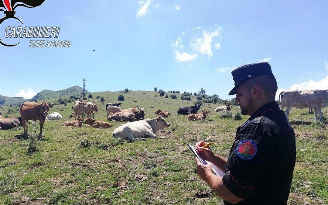 I controlli dei carabinieri sui pascoli