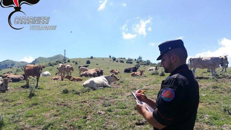 Parco del Pollino, controlli sui pascoli: tre aziende sanzionate per bovini privi di identificazione