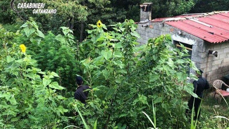 Piantagione di marijuana scoperta nel Catanzarese, arrestato un uomo