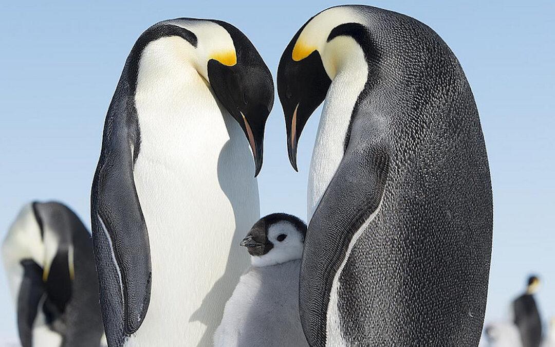 I pinguini fedifraghi in quel di Kyoto