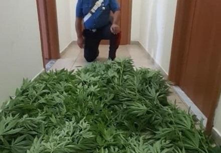 Droga: piante di marijuana fra i pomodori, arrestato nel Catanzarese