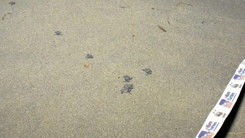 Una cinquantina di tartarughe Caretta caretta nate sulla spiaggia di Cassano allo Jonio