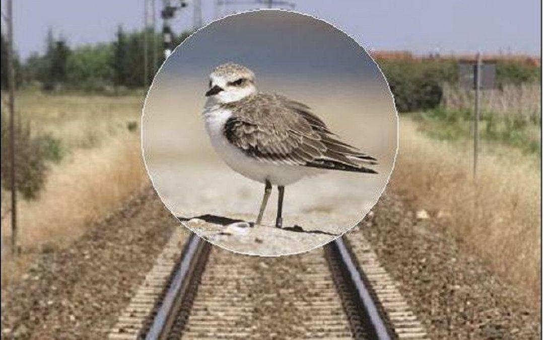 Il raddoppio della linea ferroviaria Termoli-Ripalta è stato bloccato per salvaguardare la specie protetta dell'uccello Fratino