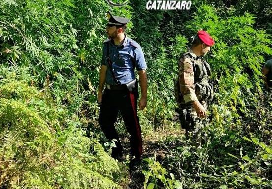 Droga, due piantagioni di canapa scoperte nel Catanzarese: c'erano 900 arbusti