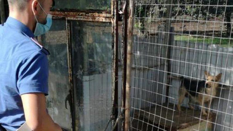Canile abusivo con animali malnutriti nel Vibonese, due denunce