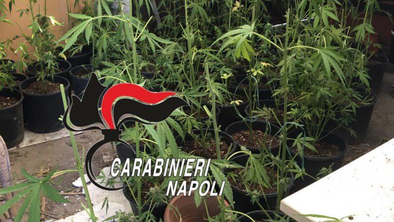 Torre del Greco: Una serra di marijuana nel suo casolare, arrestato 41enne