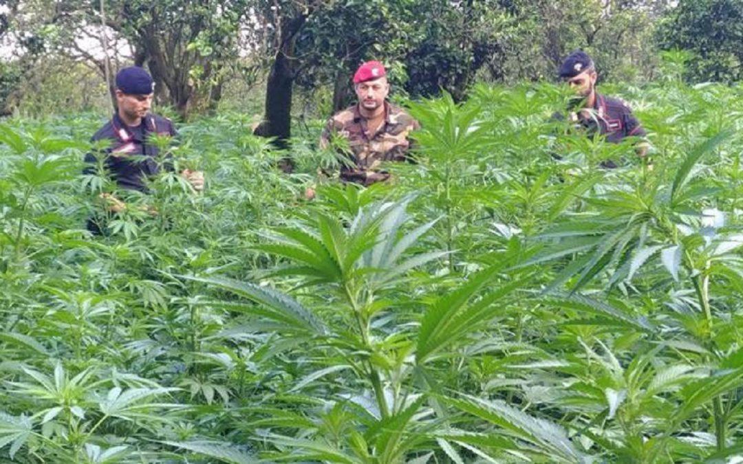 Una piantagione di marijuana a Taurianova