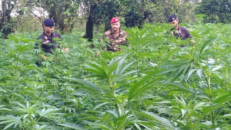 Coltivarono oltre 3 mila piante di canapa, condannati a cinque anni di carcere