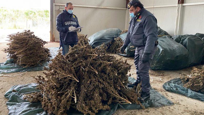 Guardia di Finanza, sequestrate 3.400 piante di cannabis sativa nel Cosentino