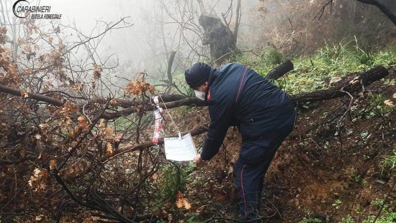 Denunciato un uomo per furto di alberi nel Cosentino
