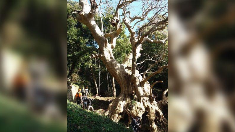 Curinga, secondo posto all'European Tree of the year per il millenario Platano di Vrisi