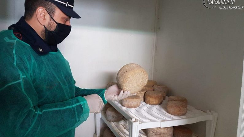Forme di formaggio non conservate in maniera idonea sequestrate dai carabinieri in due caseifici del Cosentino