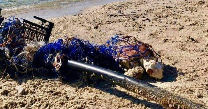 Tartaruga Caretta caretta morta sulla spiaggia di Capo Vaticano: era impigliata in una rete