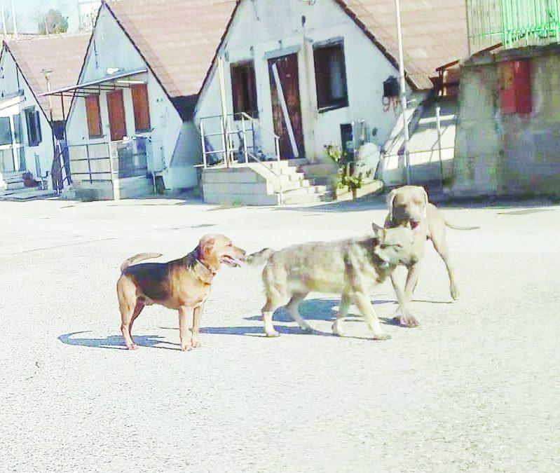 """La lupa immortalata a Bucaletto con altri cani (Foto dal profilo facebook di """"Fuorisentiero"""")"""