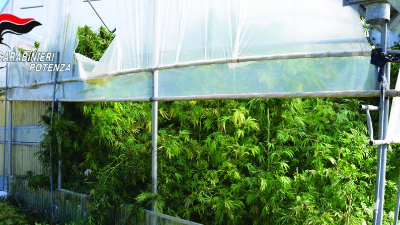 Marijuana Venosa spa, 5 condanne