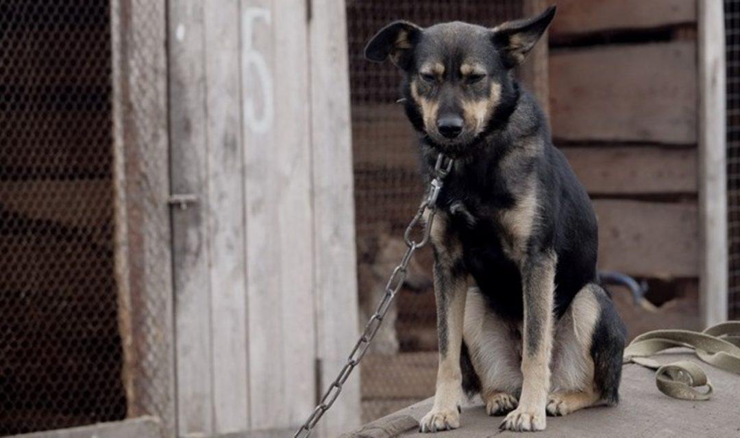 L'appello di Save the dogs al governatore De Luca: «Sanzioni severe per chi tiene cani alla catena»