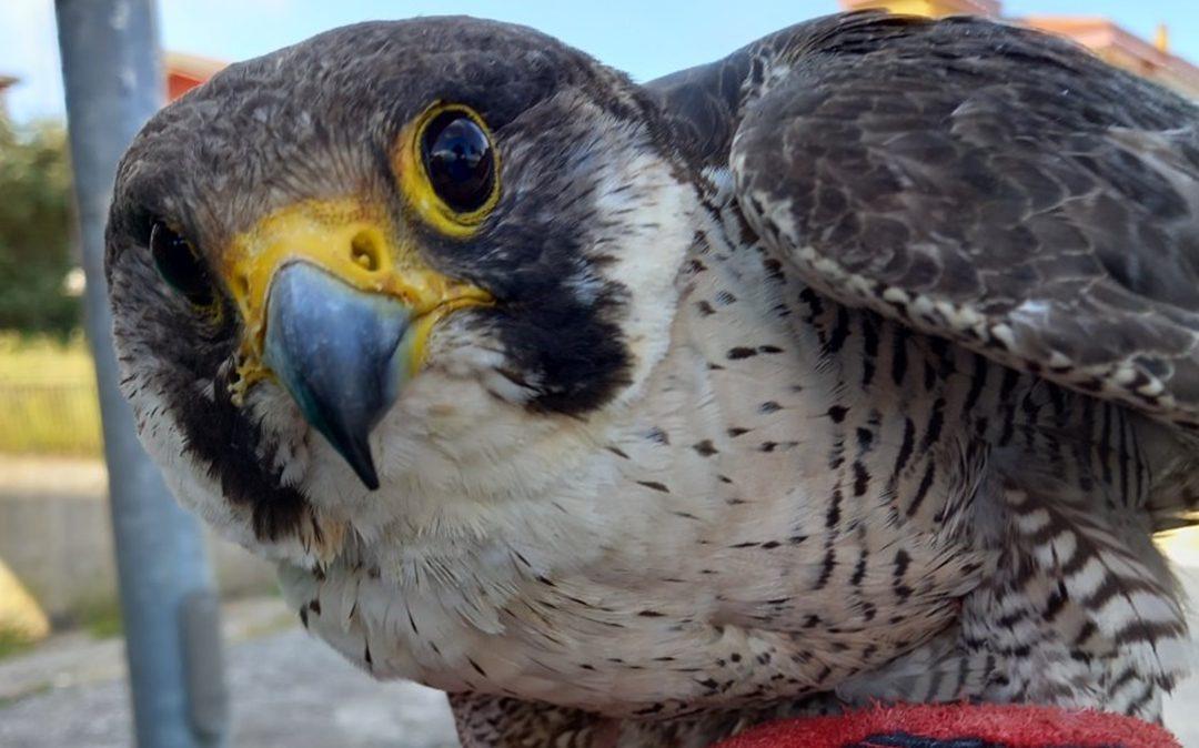 Il Falco pellegrino recuperato a Palmi