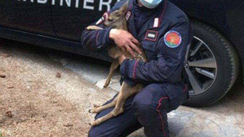 VIDEO - Parco della Sila, carabinieri salvano una cucciola di capriolo sulla statale 107