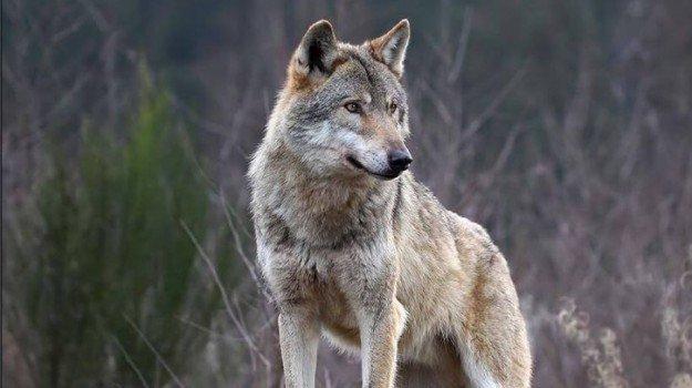 Alla riscoperta del lupo in Aspromonte: il ruolo fondamentale tra favole e realtà