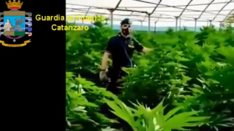 Droga, 2.190 piante di cannabis sequestrate a Lamezia: avrebbero prodotto 200 chili di stupefacente - VIDEO