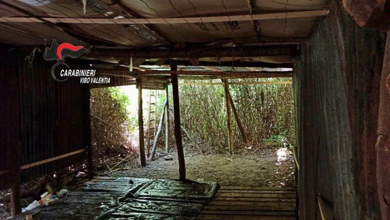 Duemila piantine di marijuana scoperte nel Vibonese - VIDEO