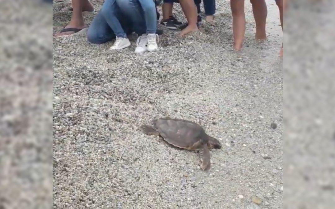La tartaruga rimessa in mare a Vibo Marina
