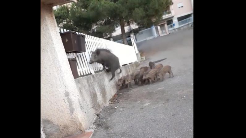 Cinghiali a spasso per Pizzo, il video su Facebook