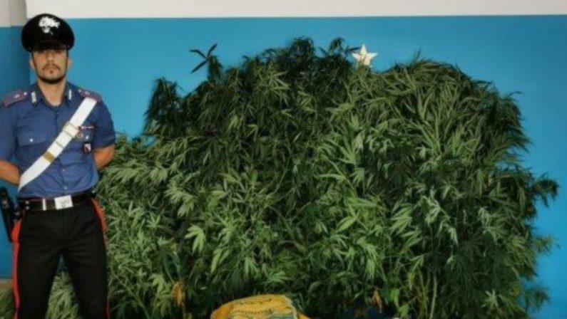 Trentadue piante di canapa e 18 chili di marijuana, un arresto a Isola Capo Rizzuto