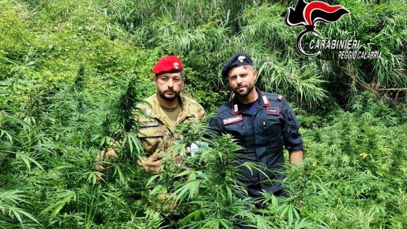 Coltivava canapa nel Reggino, arrestato un uomo e sequestrate 600 piante