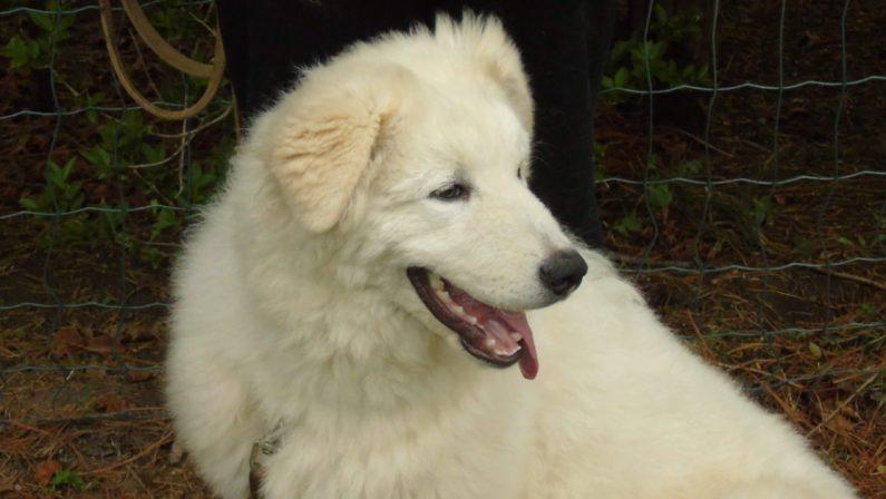 Ragazza sbranata nel Catanzarese, si indaga sui cani di mandria: la conferma del sindaco