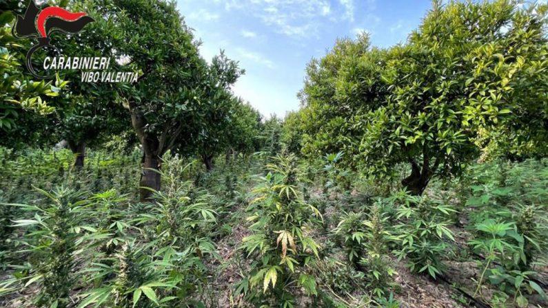 San Calogero, sequestrate piante di canapa per oltre 5 milioni di euro