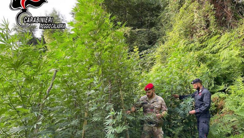 Piantagione di canapa scoperta sul Monte Limina: distrutti 300 arbusti