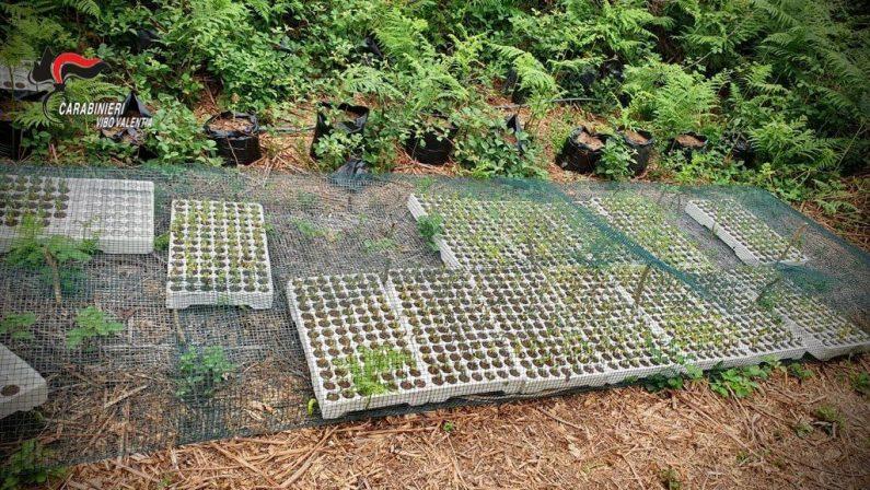 Droga: scoperto vivaio della canapa, sequestrate 3.000 piante nel Vibonese