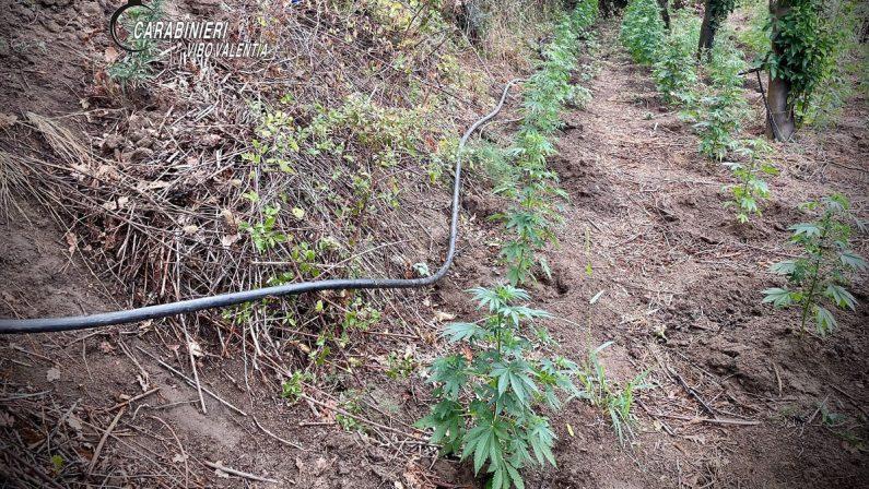 Nicotera, Carabinieri appostati nella vegetazione incastrano coltivatori di marjuana