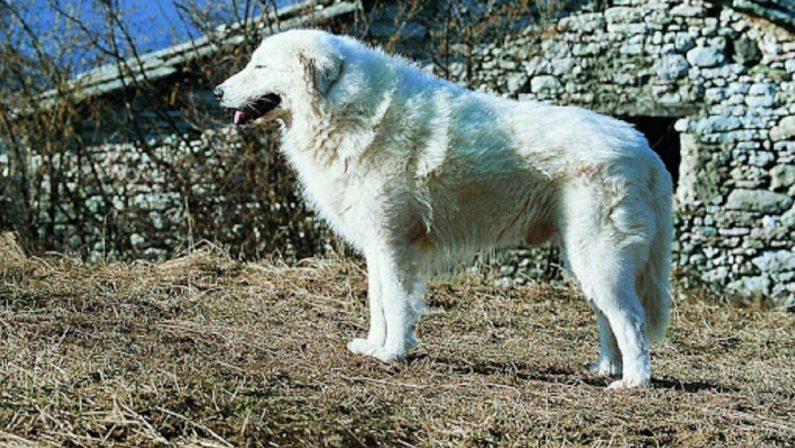 Morte di Simona Cavallaro, parlal'esperto di maremmani: «Cani dal comportamento molto strano»