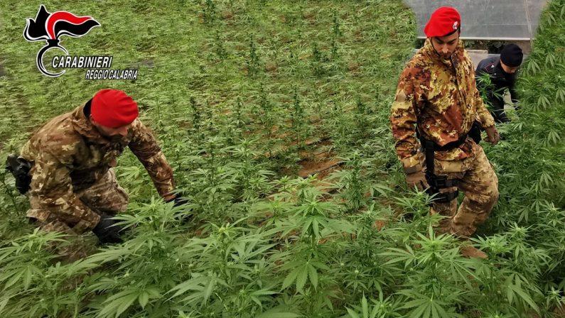 Droga: sequestrate 400 piante di canapa nel Reggino e nel Vibonese, un arresto