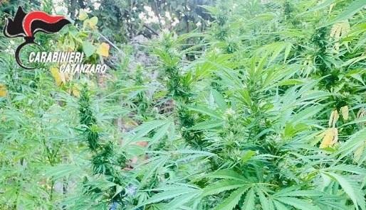Droga, marito e moglie coltivatori di canapa: un arresto e una denuncia nel Catanzarese