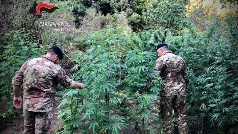 Droga: mille piante di cannabis trovate nel Vibonese - VIDEO