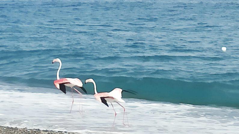 Due fenicotteri rosa a passeggio sulla spiaggia di Cirò marina