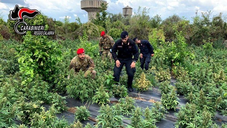 Droga: 2.500 piante di marijuana sequestrate nel Reggino, 3 arresti