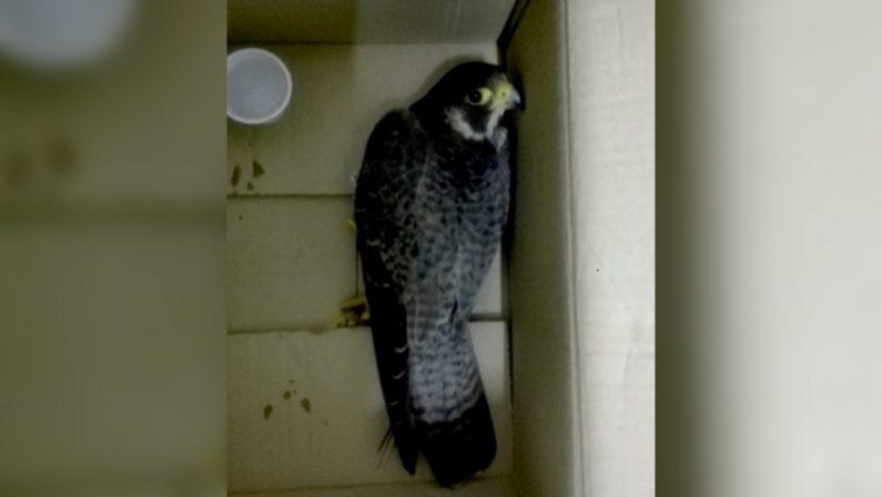 Soccorso un falco pellegrino preso a fucilate nel Reggino