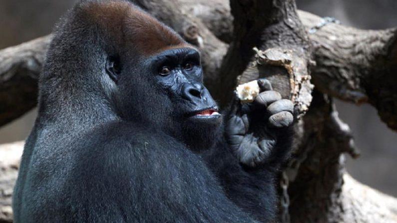 Tredici gorilla dello zoo di Atlanta positivi al Covid, a contagiarli è stato il custode