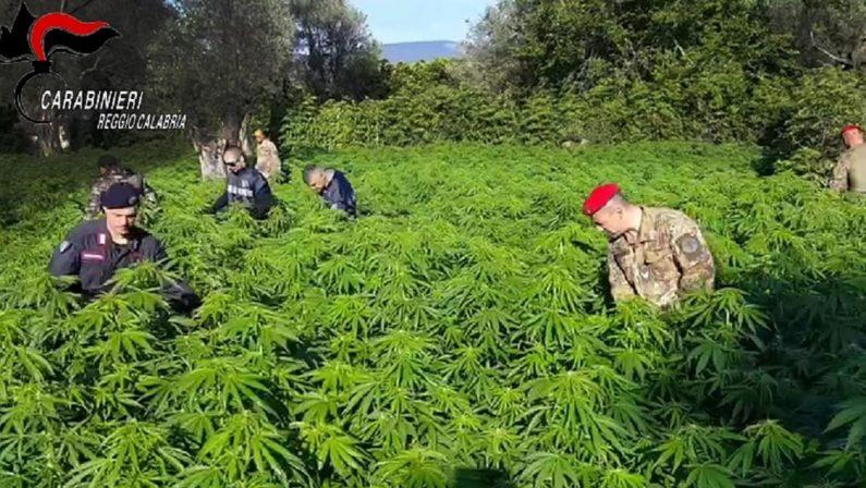 Roccella Jonica, scoperte e distrutte 200 piante di marijuana