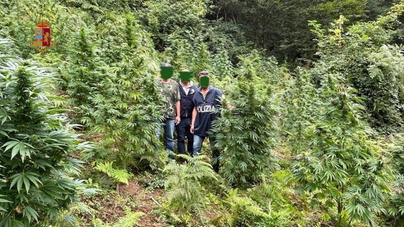 Oasi della marijuana scoperta a Fuscaldo, estirpate più di 850 piante