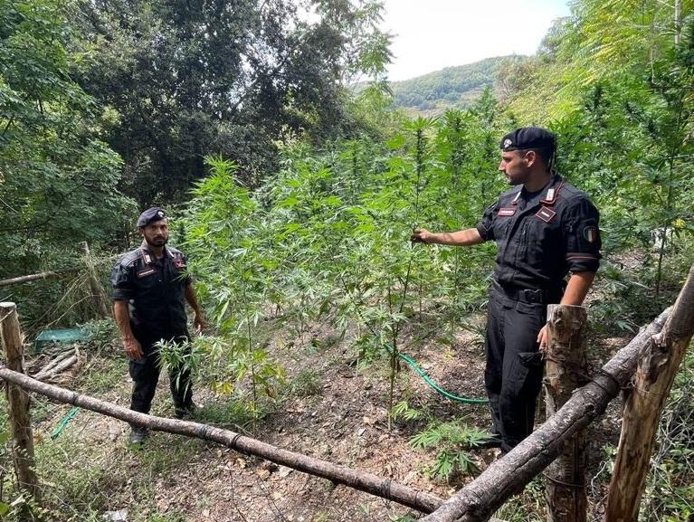 Piantagione di canapa nelle campagne del Cosentino, distrutti 400 arbusti