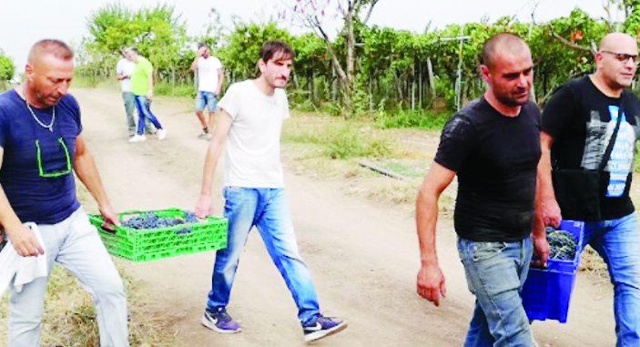 Cerignola, nei terreni mafiosi ora cresce l'uva