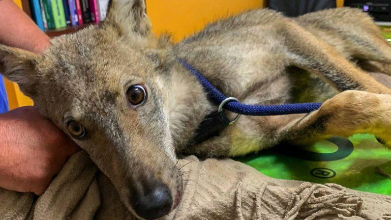Cucciolo di lupo investito in Salento, è in cura al Cras di Calimera