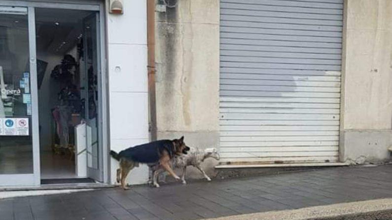 La segnalazione: un cane e una pecora a passeggio nel centro di Vibo Valentia